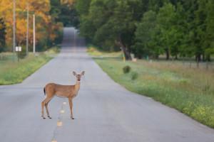 motorcycle deer accidents